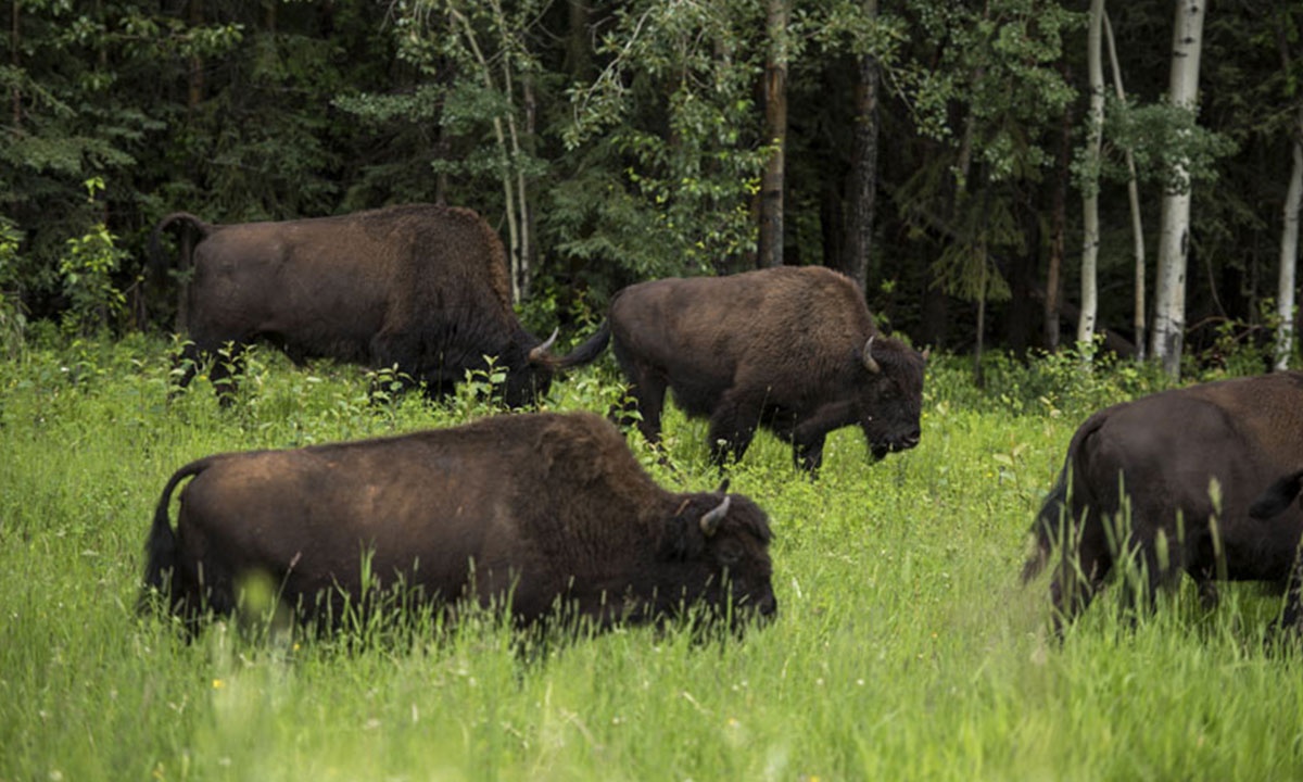 On their journey, the pair encountered wood bison, a distinct subspecies of American bison. The wood bison's original range included the boreal forest regions of Alaska, Yukon, the westernmost Northwest Territories, northeastern British Columbia, northern Alberta and northwestern Saskatchewan.