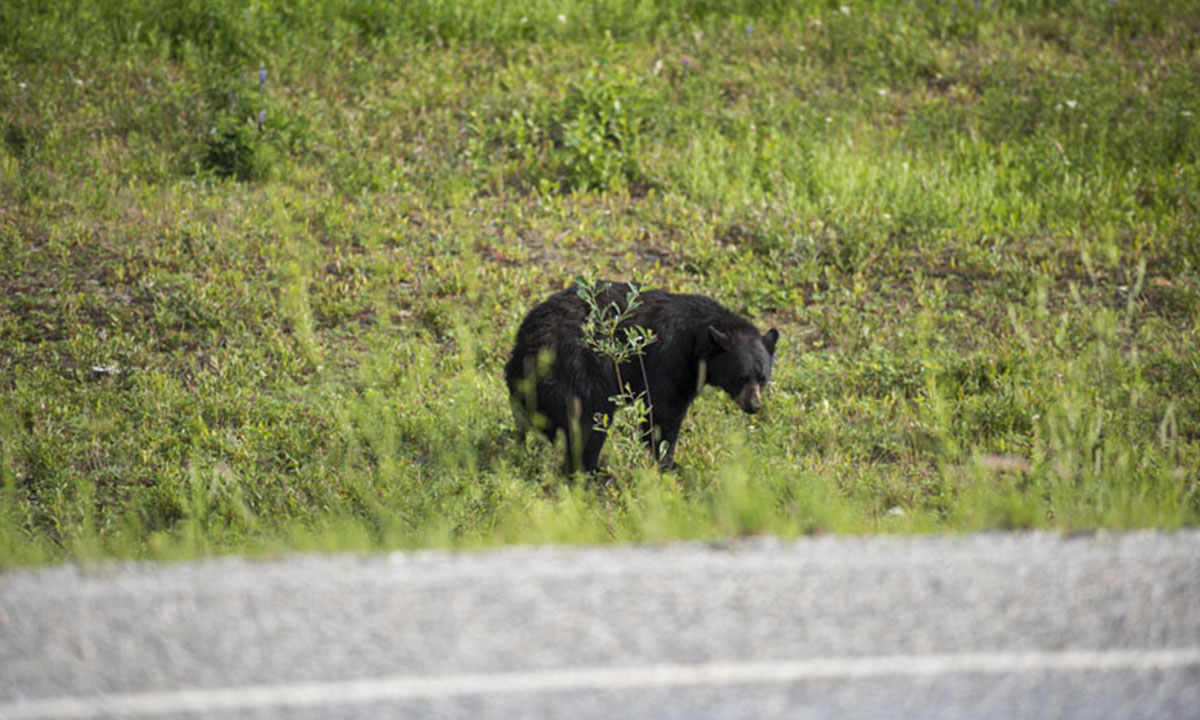 They also got close to American black bear, the most common and widespread bear in Canada.